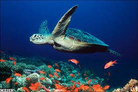 لاک پشت های دریایی اقیانوس آرام